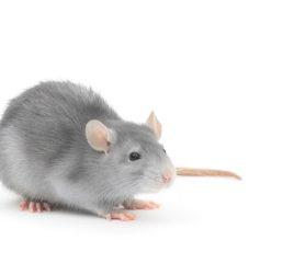 ネズミを飼う場合の注意点